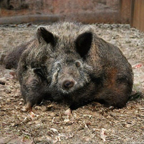 It's a bit of a mess, but clearly a hairy hog.