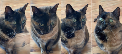 Four generated cats. They're definitely similar view of the same tortoiseshell cat, but one of them has two pupils in one eye, one of them has a long doglike nose and a blurred body, and two of them look pretty all right actually, although something's funny about the whiskers.
